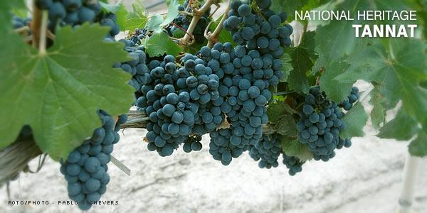 tannat vins uruguay